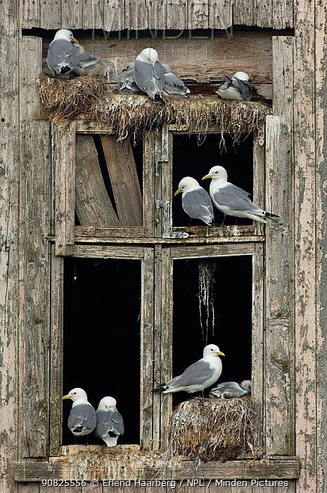 Black-legged kittiwakes (Rissa tridactyla) nesting in the windows of an abandoned house, Rost, Norway, July