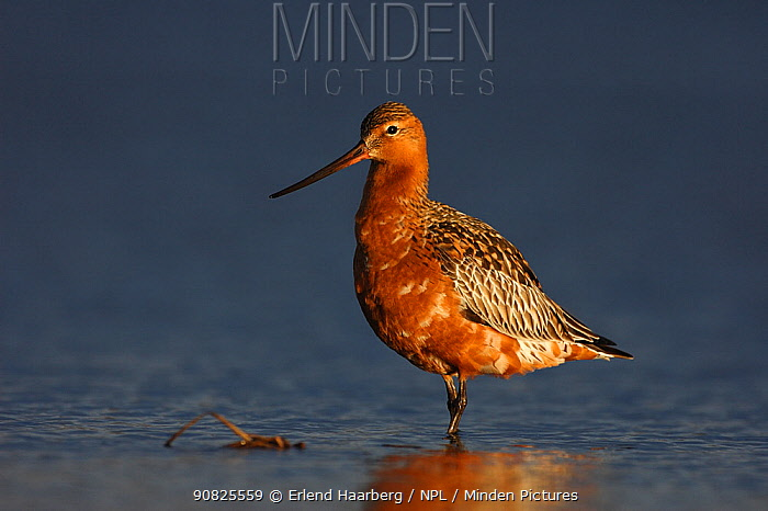 Male Bar-tailed godwit (Limosa lapponica) standing in water, Finnmark, Norway, May