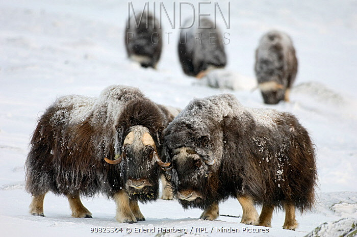 Two Muskoxen (Ovibos moschatus) others grazing in background, Dovrefjell-Sunndalsfjella National Park, Sor-Trondelag, Norway, January