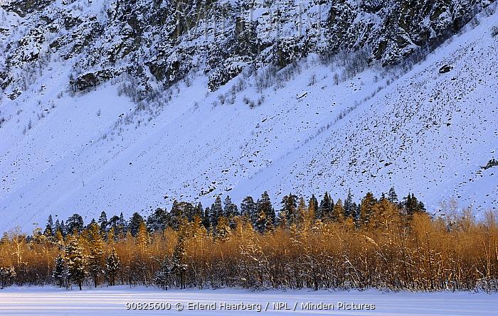 Pine trees on the bank of the frozen Reisaelva River, Reisa National Park, Troms, Norway, February 2007