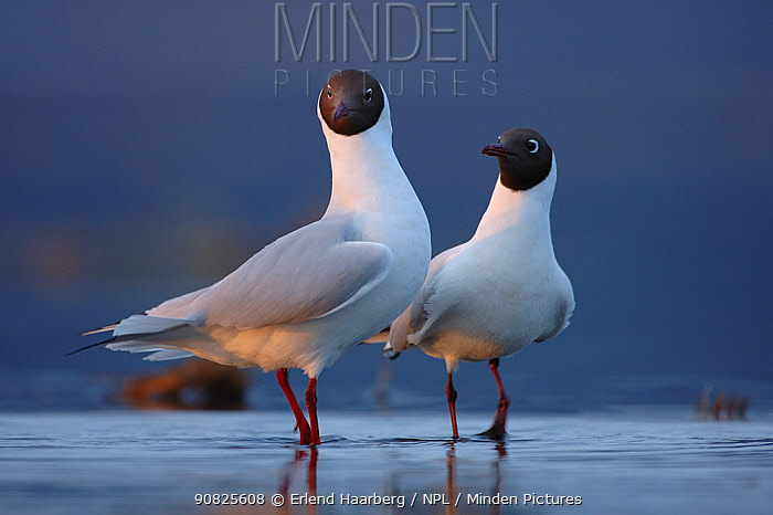 Black-headed gull (Chroicocephalus ridibundus) courtship display, Finnmark, Norway, May