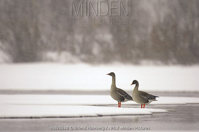 Two Bean geese (Anser fabalis) standing on snow at waters edge, Finnmark, Norway, May