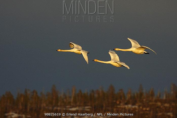 Three Whooper swans (Cygnus cygnus) in flight, Finnmark, Norway, May