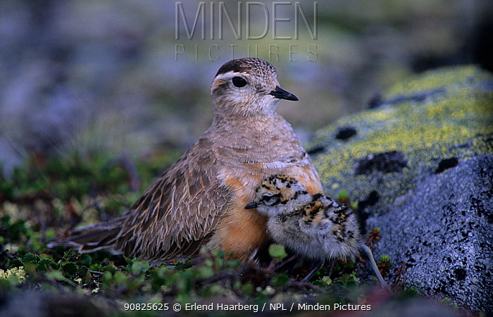 Male Eurasian dotterel (Charadrius morinellus) with chick, Norway, June