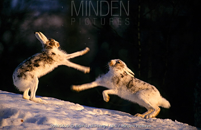 Two Mountain hares (Lepus timidus) fighting, Sor-Trondelag, Norway, April