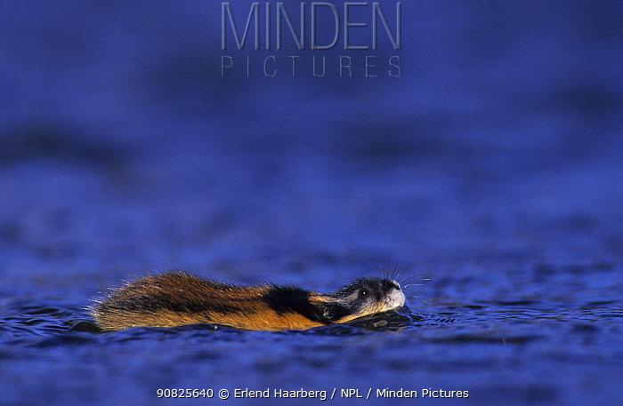 Norway lemming (Lemmus lemmus) swimming, Sweden, May