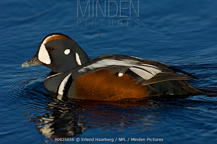 Male Harlequin duck (Histrionicus histrionicus) on water, Iceland, May
