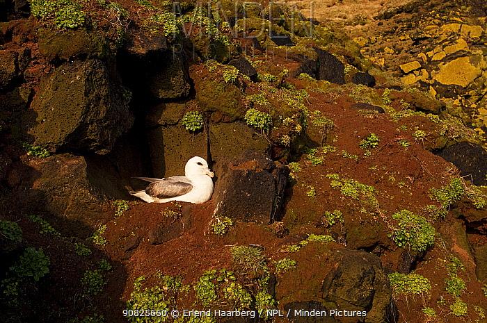 Northern fulmar (Fulmarus glacialis) nesting on cliff ledge, Iceland, May