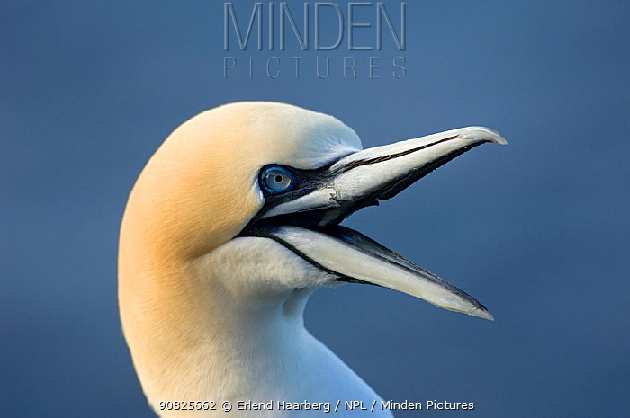 Northern gannet (Morus bassanus) calling, Iceland, May
