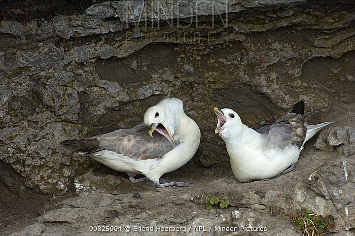 Two Northern fulmars (Fulmarus glacialis) interacting at nest site on cliff ledge, Iceland, May