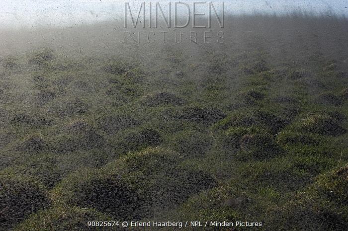 Midges (Chironomus islandicus) swarming, Myvatn, Iceland, June
