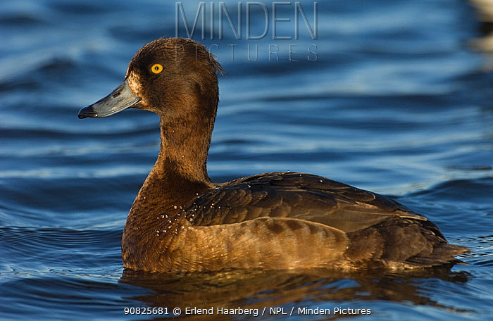 Female Tufted duck (Aythya fuligula) on water, Iceland, June