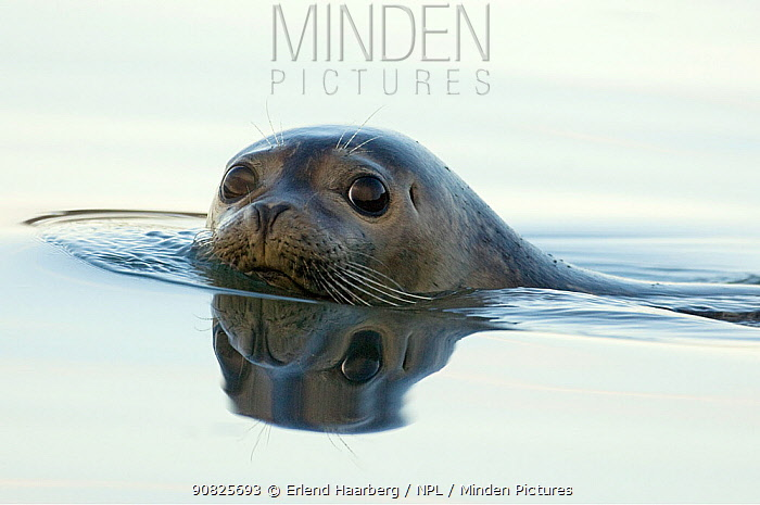 Common / Harbour seal (Phoca vitulina) swimming with head above water, Iceland, June