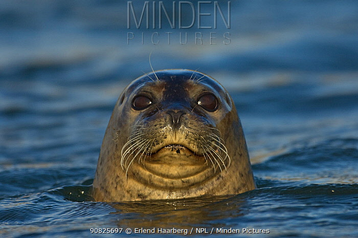 Common / Harbour seal (Phoca vitulina) with head above water, Iceland, June