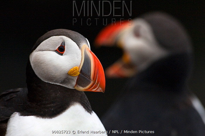 Atlantic puffin (Fratercula arctica) portrait, Iceland, July