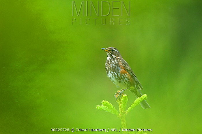 Redwing (Turdus iliacus) perched on top of conifer, Iceland, July