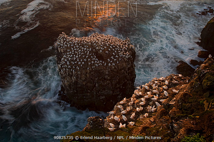 Northern gannet (Morus bassanus) colony on a sea stack and seabird cliff, Langanes peninsula, Iceland, July