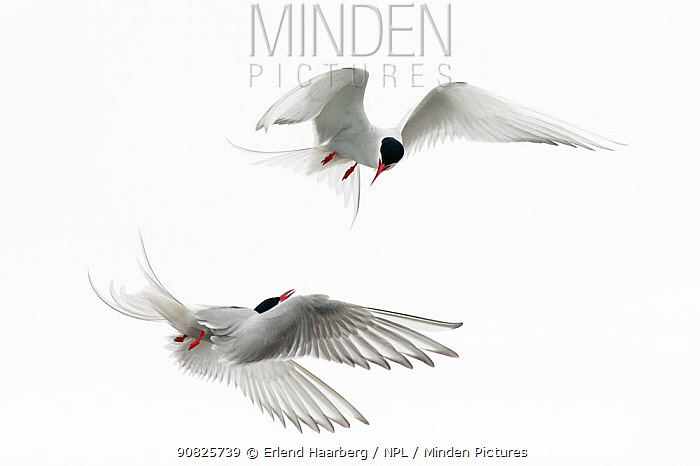 Two Arctic terns (Sterna paradisaea) in flight fighting, Iceland, August
