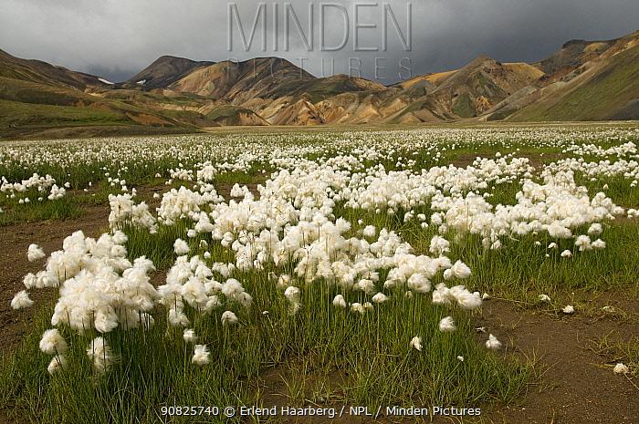 Cotton grass (Eriophorum sp) flowering in the Rhyolite mountains, Landmannalaugar, Iceland, August 2008