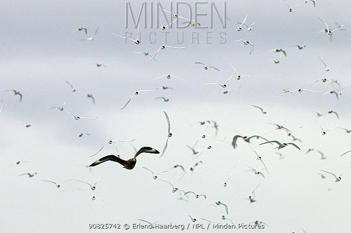 Arctic terns (Sterna paradisaea) chasing Great Skua (Catharacta / Stercorarius skua) in flight, Iceland, August