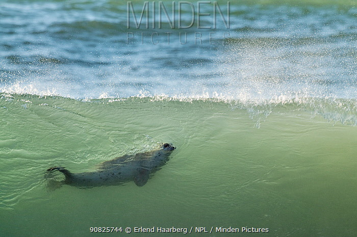 Common / Harbour seal (Phoca vitulina) swimming in wave, Iceland, August