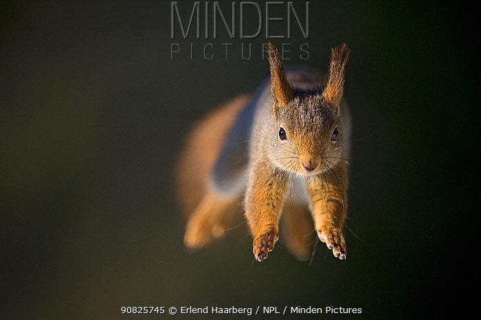 Red squirrel (Sciurus vulgaris) jumping, Norway, March