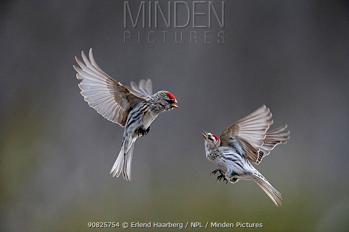 Two Common redpoll (Carduelis flammea) in flight fighting, Norway, May