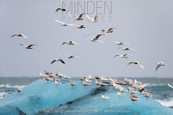 Iceland gulls (Larus glaucoides) on ice and in flight, Jokulsarlon, Iceland, April