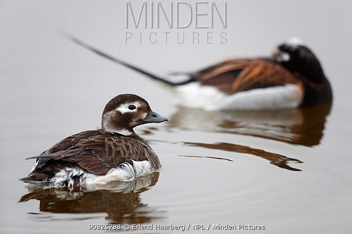 Female Long-tailed duck (Clangula hyemalis) on water with male sleeping behind, Myvatn, Iceland, June