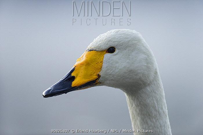 Whooper swan (Cygnus cygnus) head portrait, Norway, December