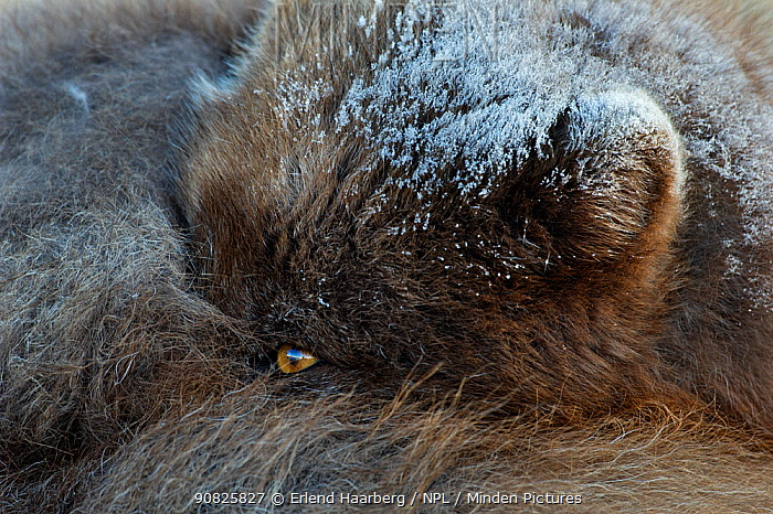 Arctic fox (Vulpes / Alopex lagopus) curled up, eye open,  blue morph, Iceland, April