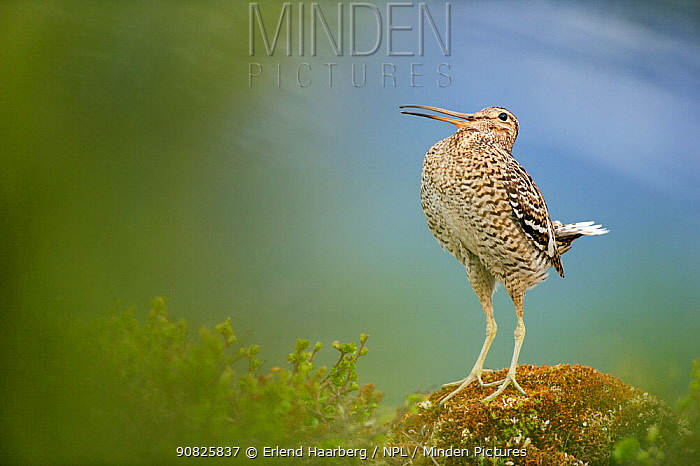 Male Great snipe (Gallinago media) displaying, Norway, May