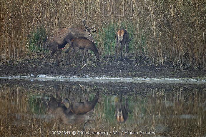 Red deer (Cervus elaphus) pair mating, another female nearby feeding, Danube-Drava National Park, Hungary, November