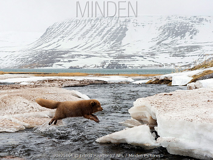 Arctic fox (Alopex lagopus) in thick winter fur jumping a river in spring, Hornstrandir, West Fjords, Iceland, April