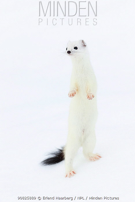 Stoat (Mustela erminea) in white winter coat, standing on hind legs, Vauldalen, Sor-Trondelag, Norway, April.
