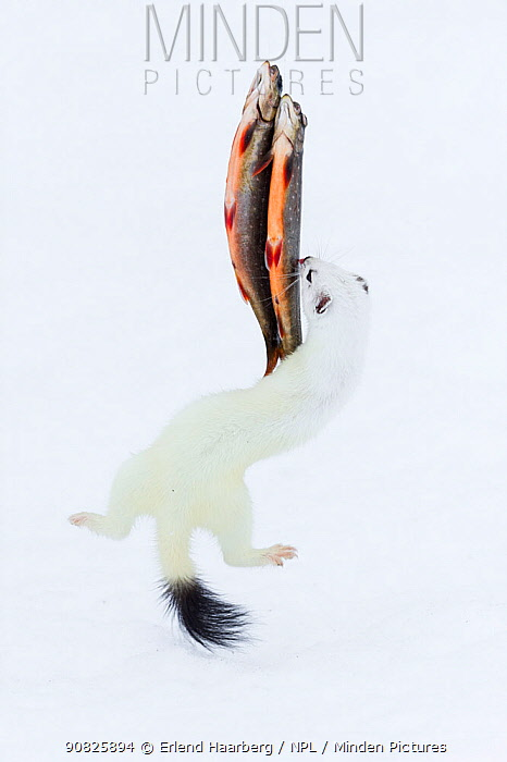 Stoat (Mustela erminea) in white winter coat, jumping for fish, hung up on a fishing line, Vauldalen, Sor-Trondelag, Norway, April.
