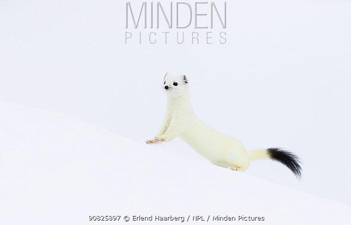Stoat (Mustela erminea) in white winter coat, running. Vauldalen, Sor-Trondelag, Norway, May.
