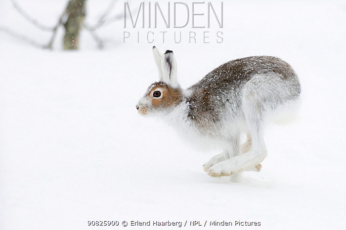 Mountain hares (Lepus timidus) running. Vauldalen, Sor-Trondelag, Norway, May.