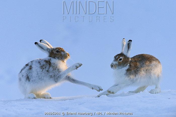 Mountain hares (Lepus timidus) boxing, Vauldalen, Sor-Trondelag, Norway, May.