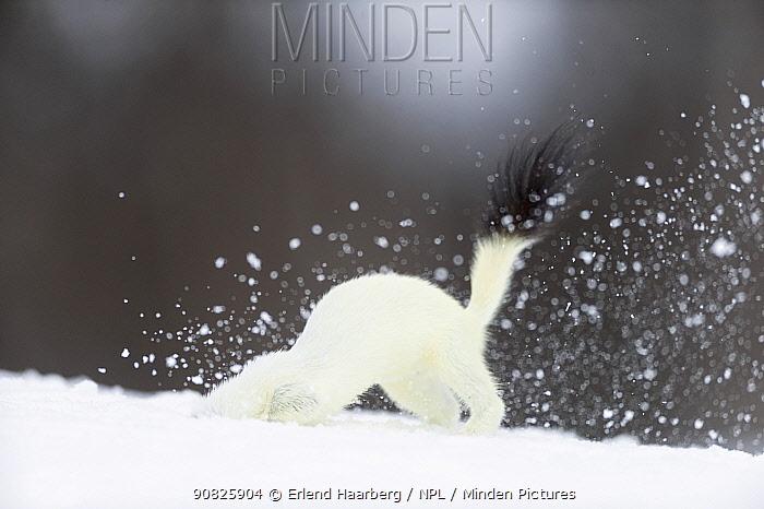 Stoat (Mustela erminea) digging in snow, in white winter coat. Vauldalen, Sor-Trondelag, Norway, May.
