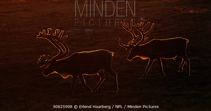 Reindeer (Rangifer tarandus) males, backlit, Forollhogna National Park. Norway.