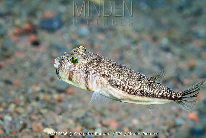 Shortfin puffer (Torquigener brevipinnis). Bali, Indonesia. Indo Pacific.