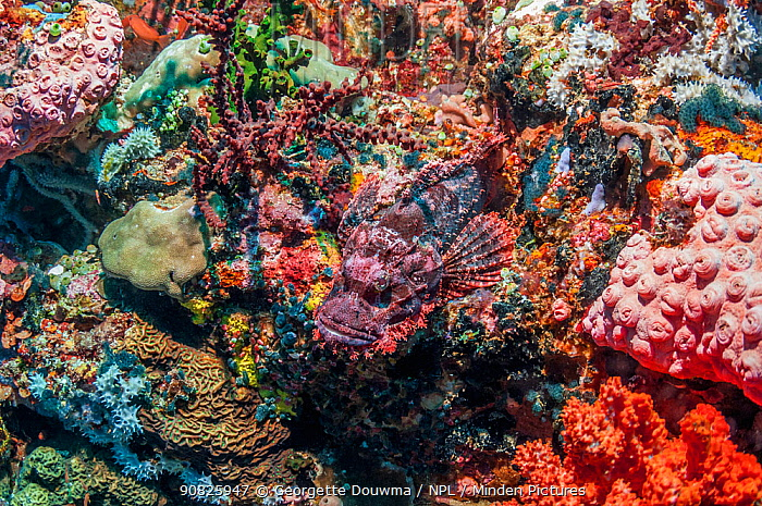 Tasseled scorpionfish (Scorpaenopsis oxycephala) on coral reef, showing camouflage. Ambon, Indonesia.