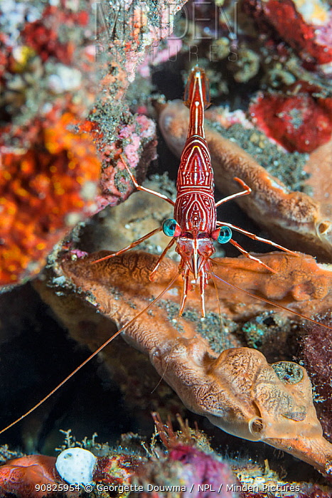 Durban hinge-beak prawn (Rhynchocinetes dubanensis). Tulamben, Bali, Indonesia.