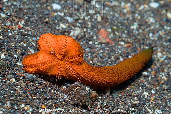 Luzon sea star (Echinaster luzonicus) regenerating a new body from severed arm. Tulamben, Bali, Indonesia.