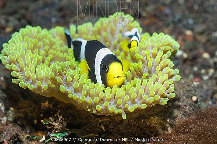 Saddleback anemonefish (Amphiprion polymnus). Tulamben, Bali, Indonesia.