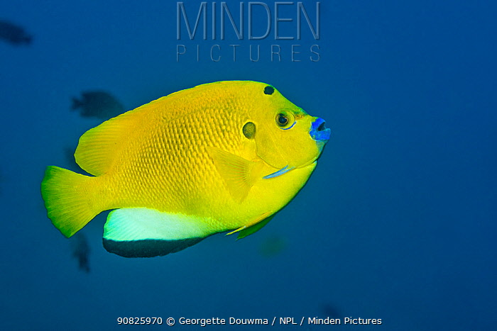 Three-spot angelfish (Apolemichthys trimaculatus). Tulamben, Bali, Indonesia.