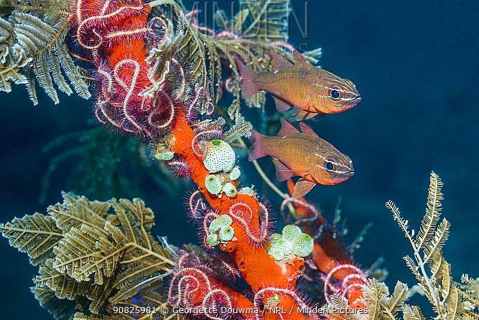 Moluccan cardinalfish (Ostorhinchus moluccensis) next to hydroids, brittlestars and sea squirts. Tulamben, Bali, Indonesia.