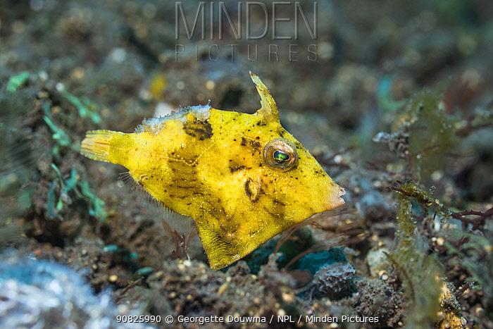 Seagrass filefish (Acreichthys tomentosus), yellow phase. Tulamben, Bali, Indonesia.