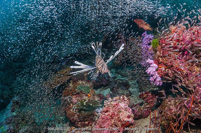 Common lionfish (Pterois volitans) hunting cardinalfish over coral reef. Andaman Sea, Thailand.
